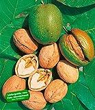 BALDUR-Garten Walnussbaum, Nussbaum 1 Pflanze Juglans regia