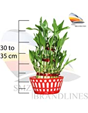 SMZ Brandlines - 3 Layer Lucky Bamboo plant with big round glass vase (free 2packets of seven color crystal jelly bowls included) Indoor plant