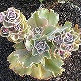 AGROBITS 50P / bolsa: 10/20 / semillas de flor de la planta 50P Japón Junquillo Blooming Jardín Bonsai Oo55 01
