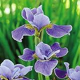 Siberische Schwertlilie Silver Edge - 2 pflanzen