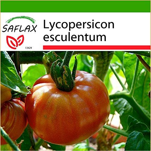 SAFLAX - Tomate - Pink Brandywine - 10 Samen - Mit Substrat - Lycopersicon esculentum