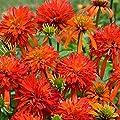 lichtnelke - Sonnenhut (Echinacea purpurea) Summer Salsa von Lichtnelke Pflanzenversand - Du und dein Garten