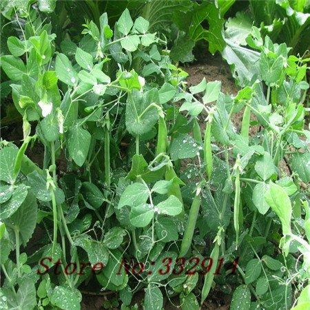 Vente! 100 Asparagus douces graines de pois Semences de type doux des jardins potagers deux petits pois crus et cuits pod classe bean peut manger fre