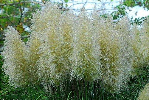 100pcs/Pack New Rare Pampas bonsaïs Impressionnant herbe Graines de plantes ornementales de jardin à la maison graines Fleurs pot Cortaderia 13