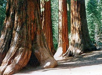 Seedeo Berg - Mammutbaum (Sequoia. gigantea) Pflanze 2 Jahre alt Geschenkedition von Seedeo auf Du und dein Garten