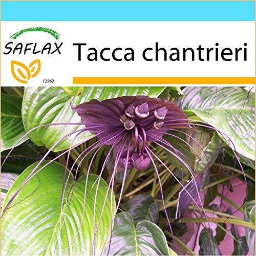 SAFLAX - Geschenk Set - Fledermausblume - 10 Samen - Tacca chantrieri