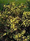 PLAT FIRM GERMINATIONSAMEN: Goldfinger Potentilla - 1 Gallone lebenden Pflanzen - Tough Trockenheit tolerant - Mutter