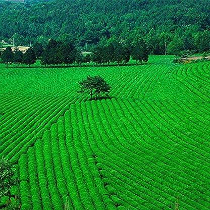 Neuer-grner-Tee-Dongting-Biluochun-Tee-wohlriechender-Frhling-250g-055LB-In-Bchsen-konservierter-grner-biluochun-Frhling-neues-das-grne-Lebensmittel