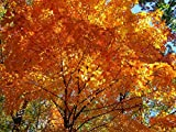 Tree Seeds Online - Acer Saccharum- Arce Sirope 25 Semillas - 10 Paquetes