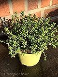 Gewürz Thymian Thymian vulgaris 1stk. Kräuter Pflanze