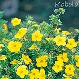 Fingerstrauch 'Kobold' – Potentilla – Dasiphora fruticose Strauch mit zitronen- bis gold-gelben Blüten als Hecke oder in Einzelstellung – von Garten Schlüter - Pflanzen in Top Qualität