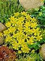 40 Zwiebel Eranthis hyemalis, Winterlinge gelb ,Größe 4/5, von Dominik Gartenparadies auf Du und dein Garten