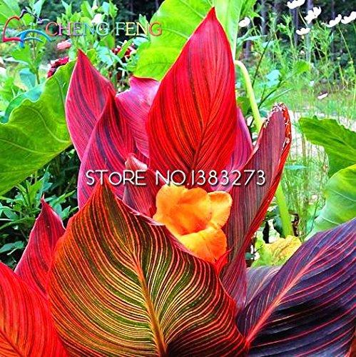 10 Stück Canna Samen Schöne Blumensamen-Mix Indica Lily Pflanzen Garten Birnen Blumen im Freien Topf Bonsai Flores. Home Geschenk -
