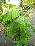 Schlafbaum - Seidenbaum Albizia julibrissin Umbrella -R- 40 - 60 cm hoch im 3 Liter Pflanzcontainer !RARITÄT!
