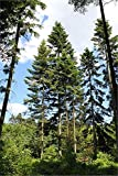 Riesen-Küsten-Tanne 30 frische Samen **Der Tannengigant**