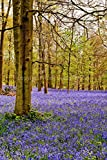 "Bluebells Photograph a 12""x18"" Photographic Print of the Bluebell Woods at The Spinney Greys Court Henley on Thames Oxfordshire England UK portrait photo color picture fine art print photography by Andy Evans Photos"