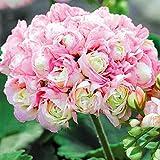 Wekold Geranie 50 Samen Blumen Rosa