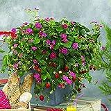 lichtnelke - Hänge-Erdbeere (Fragaria x ananassa) Tristan F1 Deep Rose
