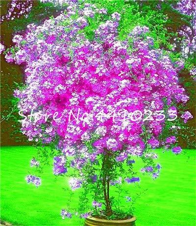 GEOPONICS SEMI: 100 pezzi Plumbago Bonsai Fiori esotici bonsai giardino della casa vegetali decorativi Ceratostigma Plumbaginoides Bonsai: b