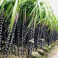 Auntwhale 1000Pcs Sugarcane Seeds