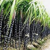 Auntwhale 1000Pcs Zuckerrohr-Samen