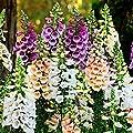 Fingerhut Dalmatian Mischung, Pillensaat von Gärtner Pötschke - Du und dein Garten