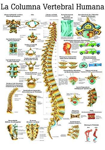 ruediger-anatomie-es07-la-columna-vertebral-humana-tableau-espagnol-70-cm-x-100-cm-papier