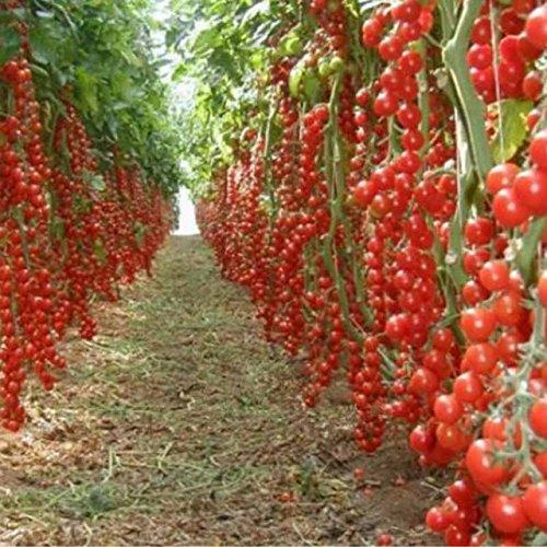 100 pcs/paquet Précipité nouvelles Plantes d'extérieur Promotion Jardin semences de tomates en pot fruits Bonsai Balcon de semences de légumes 1