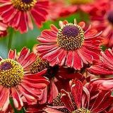 lichtnelke - Sonnenbraut (Helenium autumnale Mariachi) Siesta