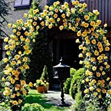 #9: Yellow Climbing Rose Flower Seeds, Beautiful Rare Colour Rose Plant Grows in Any Season and Very Easy to Grow - BEE Garden Organic