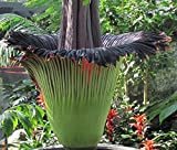 Corpse plant: Amorphophallus titanum known as corpse flower