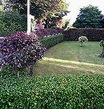 50st. Liguster Atrovirens 60-100cm reine Pflanzhöhe Heckenpflanze Ligustrum Wurzelware