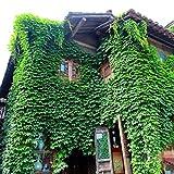 40 teile/beutel efeu samen Creeper Samen Grün anti-strahlung ultraviolette strahl bonsai pflanzen kletterpflanzen für haus und garten