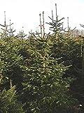 50 Samen der ''echten Nordmanntanne'' -Abies nordmanniana- -Beliebtester Weihnachtsbaum- >Frisches Saatgut< -