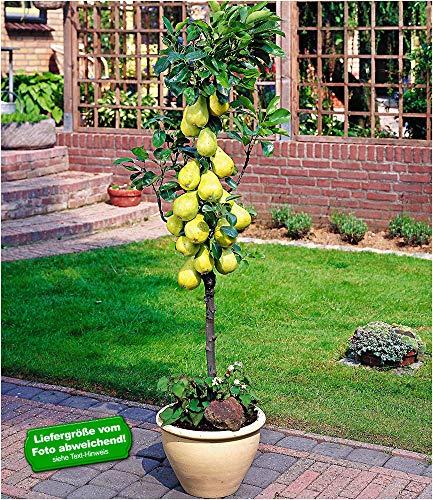 BALDUR-Garten Befruchter-Sorte Birnen 'Conference', 1 Pflanze, Pyrus communis Conference