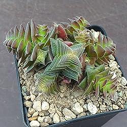 Crassula capitella thyrsiflora - 1 Steckling (unbewurzelt) - Sunnyplants