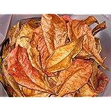 1 Lot de 10 grandes feuilles de catappa sans traitement chimique