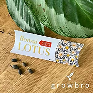growbro | Bonsai Lotus | Anzuchtset, Mitbringsel Erwachsene, Gastgeschenke, Geschenkidee für Frauen, Aquarium Deko, Geschenk für Frauen & Männer, kleines Dankeschön, Weihnachtsgeschenk, Seerosen, Wasserpflanzen Aquarium