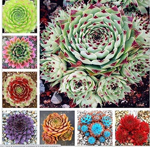 Shoopy Star Erstaunlich Sempervivum Pflanzen Mixed Mini Garden Succulents Kakteensamen