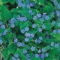 Himmelblaues Gedenkemein (Omphalodes verna) - 1 Pflanze von Garten Schlüter bei Du und dein Garten