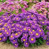 Yukio Samenhaus - 20pcs Rarität Violette Alpen-Aster Blühfreudig, Bienen und Schmetterling anziehen, Blumensamen winterhart mehrjährig in Steingärten