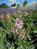Garten-Königskerze Rosie Staude rosa blühend Solitär-Staude winterhart Verbascum x cultorum im 3 Liter Topf 1 Pflanze
