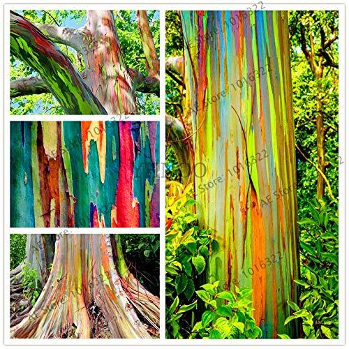 Shopmeeko 100 Stück/Tasche Hawaii Rainbow Eucalyptus Tree, Schön Ornamental, Versand oder gratis