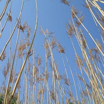 lichtnelke - Schilfrohr / Schilf / Schilfgras (Phragmites australis) Tb9 von Lichtnelke Pflanzenversand - Du und dein Garten