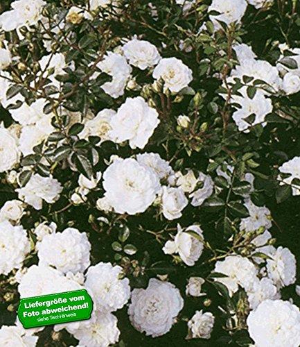 BALDUR-Garten Rosen 'Sea Foam', 3 Pflanzen Bodendeckerrose (Bodendecker Rosen)