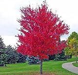 30 semi / pack GIAPPONESE albero di acero rosso CON PACCHETTO ERMETICI * MOLTO BELLO * GIAPPONE acero nuovi semi * PLUS dono misterioso