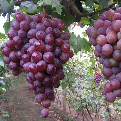 20pcs-red-globe-de-ppins-de-raisin-doux-jardin-fragrant-juicy-fruit