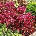 Roter Mauerpfeffer (Sedum spurium) - 5 Stück von Garten Schlüter auf Du und dein Garten