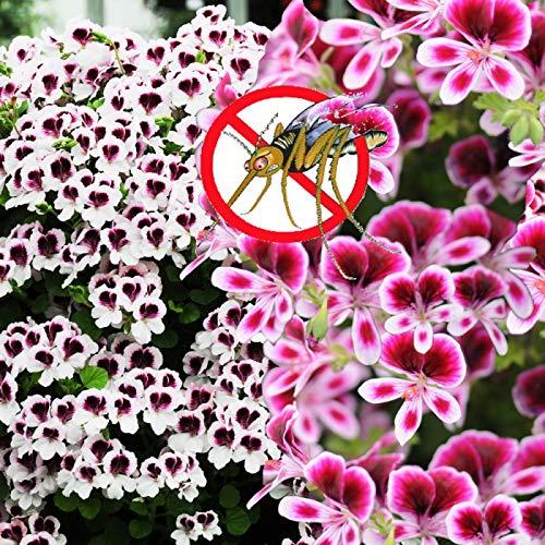 Kisshes Seedhouse - 100pcs Géranium Graines Moustique Répulsif Graines Herbe Anti-Moustique Graines Vivace Intérieur Maison Jardin Bonsaï Graines