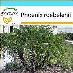 SAFLAX - Geschenk Set - Zwerg - Dattelpalme - 25 Samen - Phoenix roebelenii